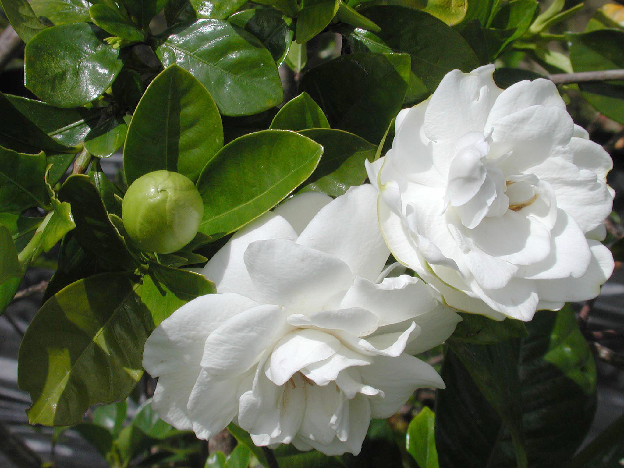 How to plant a gardenia - File Gardenia Plant In Bloom 001 Jpg