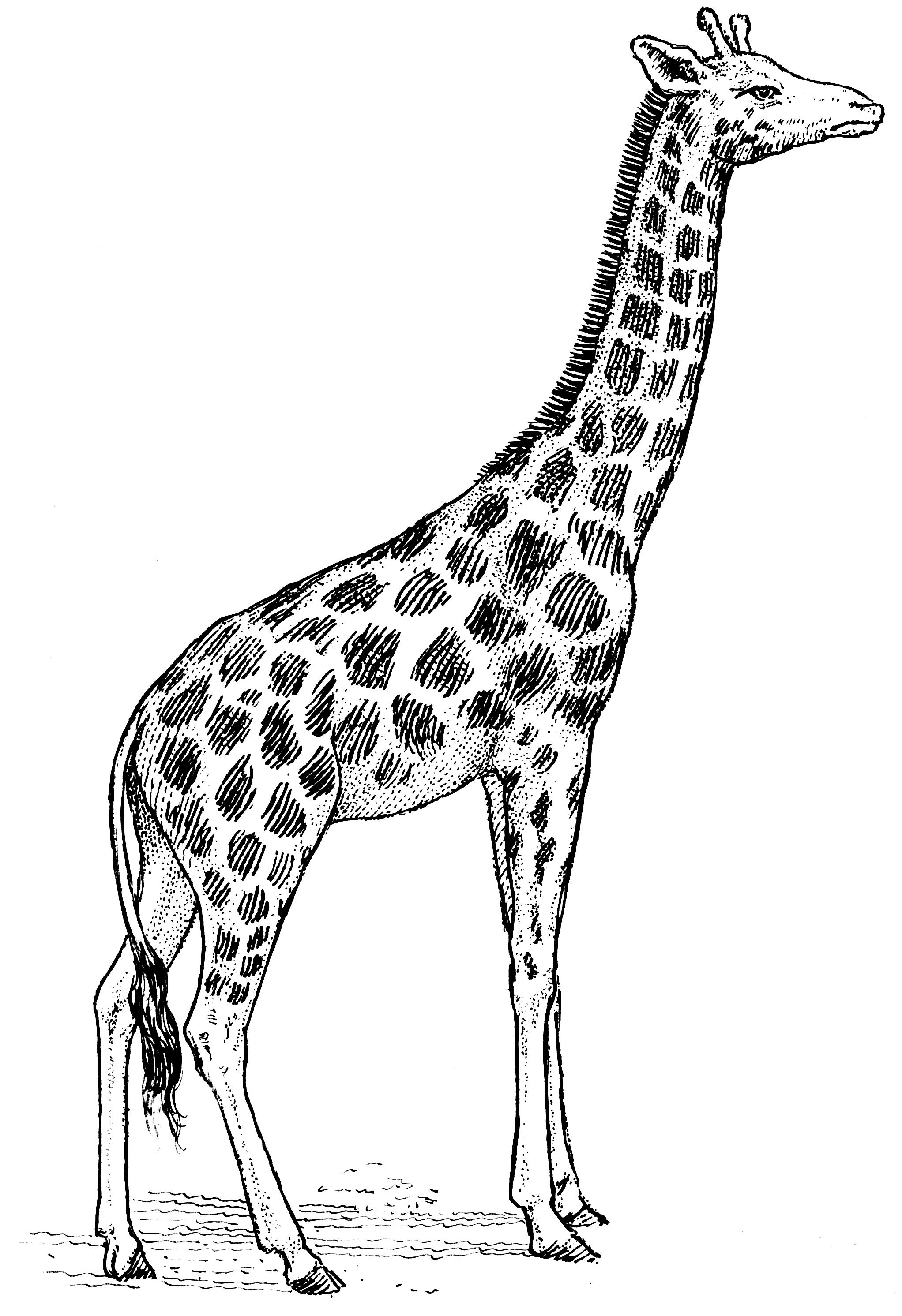 file giraffe 001 png the work of god u0027s children