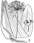 Allium tricoccum drawing.png