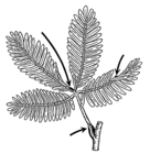 Different Areas on a Branch Are Called Base - botany 001.png