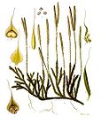 Lycopodium clavatum - Wolfs-foot Clubmoss - Stags-horn Clubmoss 001.jpg