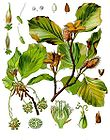 Fagus sylvatica - Common Beech 001.jpg