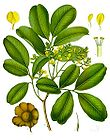 Pterocarpus marsupium - Indian Kino Tree 001.jpg