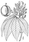 Aesculus flava drawing.png