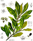 Laurus nobilis - Bay Laurel - Laurel - Bay Tree - Sweet Bay 001.jpg