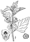 Althaea officinalis-linedrawing.png