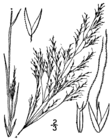 Agrostis elliottiana drawing.png