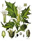 Datura stramonium - Thorn Apple - Stinkweed 001.jpg