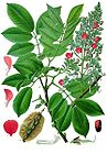 Piscidia piscipula - Florida Fishpoison Tree - Jamaican Dogwood - Fishfuddle 001.jpg