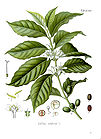 Coffea arabica - Arabian coffee 001.jpg