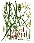 Elytrigia repens - Couch Grass - Quackgrass 001.jpg