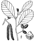 Alnus incana rugosa drawing.png