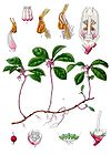 Gaultheria procumbens - Eastern Teaberry - American Wintergreen 001.jpg