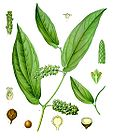 Piper cubeba - Cubeb - Java Pepper 001.jpg