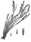 Agrostis scabra drawing.png
