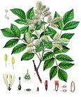 Fraxinus ornus - Manna Ash - South European Flowering Ash 001.jpg