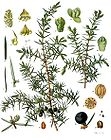 Juniperus communis - Common Juniper - Juniper 001.jpg