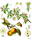 Malus domestica - Apple 001.jpg