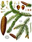 Picea abies - Norway Spruce 001.jpg