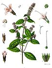 Mentha piperita - Peppermint 001.jpg