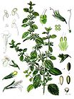 Melissa officinalis - Lemon Balm 001.jpg