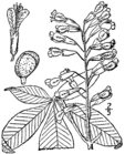 Aesculus pavia drawing.png