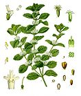 Marrubium vulgare - White Horehound - Common Horehound 001.jpg