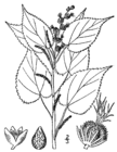 Acalypha ostryifolia drawing.png