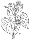 Abutilon theophrasti drawing.png