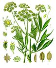 Levisticum officinale - Lovage 001.jpg