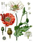 Papaver somniferum - Poppy 001.jpg