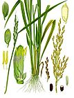 Oryza sativa - Asian Rice - Rice 001.jpg