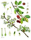 Prunus cerasus - Sour Cherry 001.jpg