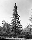 Abies balsamea - Balsam Fir Tree 003.jpg