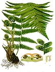 Dryopteris filix-mas - Common Fern 001.jpg