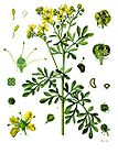 Ruta graveolens - Common Rue - Herb-of-grace 001.jpg