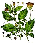 Atropa belladonna - Deadly Nightshade 018.jpg