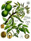 Juglans regia - Walnut Tree - Persian Walnut - English Walnut 001.jpg