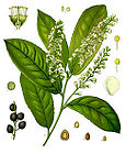 Prunus laurocerasus - Cherry Laurel - English Laurel 001.jpg