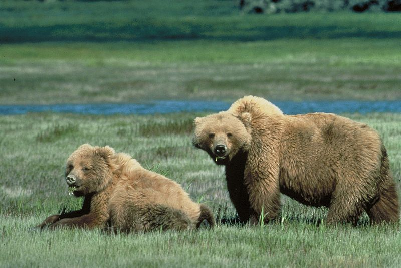 File:Grizzly Bears in a Meadow in Yellowstone National Park 001.jpg