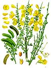Cytisus scoparius - Common Broom - Sarothamnus scoparius 001.jpg
