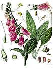 Digitalis purpurea - Foxglove 001.jpg