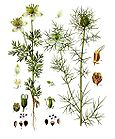 Nigella sativa - Fennel Flower - Nigella damascena - Love-in-a-mist 001.jpg