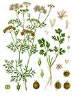 Coriandrum sativum - Coriander - Chinese Parsley 001.jpg