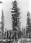 Abies amabilis - Pacific Silver Fir 001.jpg